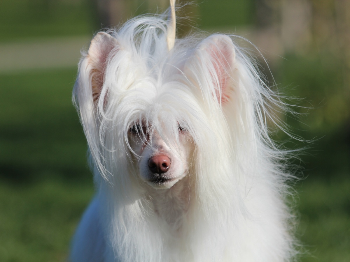 Chinese crested dog PP Goji